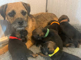 7 BEAUTIFUL KC REG PUPPIES