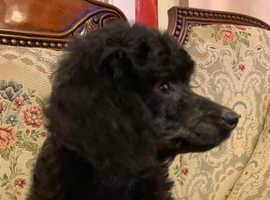 Toy poodle -