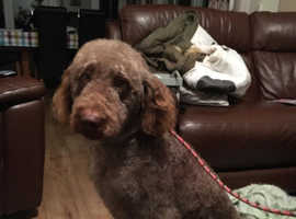 At Stud - NOT FOR SALE -Chocolate F1 Labradoodle