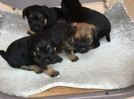 KC Registered border terriers