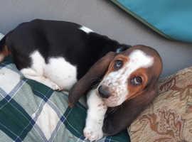Stunning basset hounds