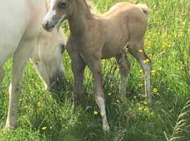 Section a colt foal