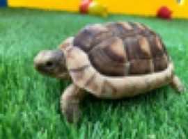 Baby Marginated tortoises for sale UK CB
