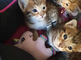 F6 savannah Kittens for sale currently 4 weeks old