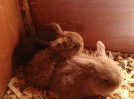 baby mini lop rabbits, microchipped, litter trained, very tame, cage etc
