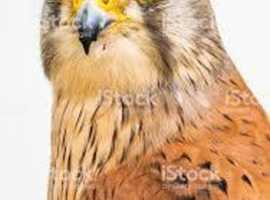 KESTRELS WANTED