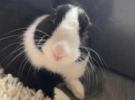 Bunny for sale ( please read description)