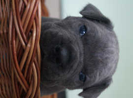 Cane Corso Puppies 2 Boys 2 Girls