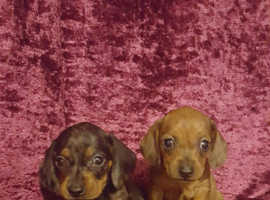 Miniature dachshund 2 girl