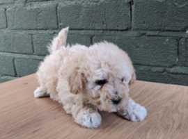 Poochon Male Puppies