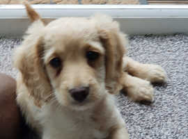 Exceptionally well bred F1 apricot cockerpoo pups