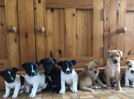 Jack Russell's For Sale