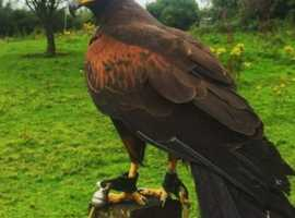 Female Harris hawk