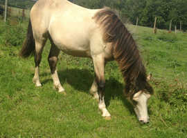 Buckskin Welsh Cob filly