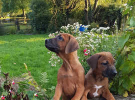Rhodesdian Ridgeback Pups for sale