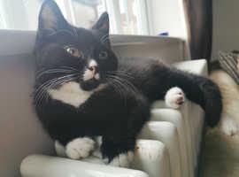 Beautiful brithish shorthair kitten
