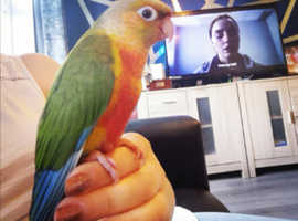 2 year old Conure parrot
