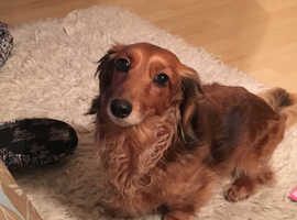 Looking for a Longhaired Miniature Dachshund