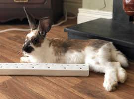 Friendly cuddly Rex Rabbit