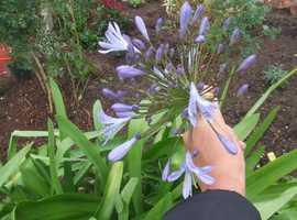 AGAPANTHUS/HEUCHERA PALACE PURPLE.PLANTS FOR SALE.