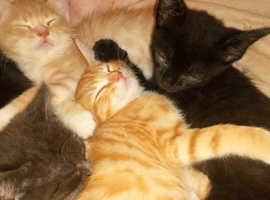 I have 3 kittens for sale 1 pure black 2 ginger kittens