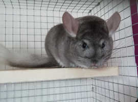 Two female Chinchillas plus cage set up