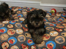 Yorkshire Terrier Mini Toy Puppy Girls