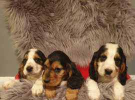 Beautiful pure bred cocker spaniels puppies