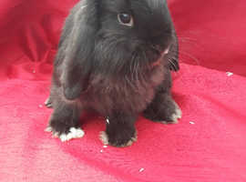 Mini lop rabbits REDUCED TO SELL!!