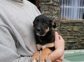 Welsh sheepdog X Kelpie