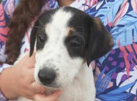 Collie cross saluki Greyhound