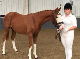 3yr old show jumping filly