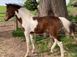 Part bred arab coloured foal.