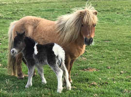 Registered miniature cream dun mare foal