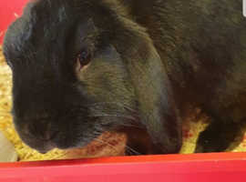 Rehome black Male rabbit