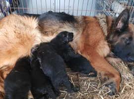 Top German shepherd long hair puppies