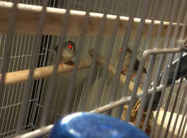 Gorgeous crested bengaleise finches,and 2 zebra finches,