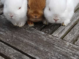 Pure bred cute baby Netherland Dwarf rabbit