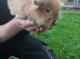 Mixed Lionhead and a lop