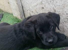 Newfador puppies (Newfoundland x Labrador)