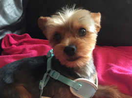 NOT FOR SALE TOY YORKSHIRE TERRIER  READY TO BREED/STUD