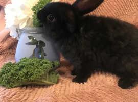 One black bunnie