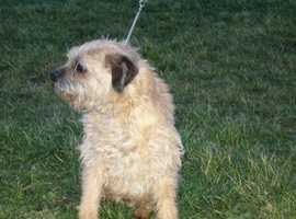 Border terriers adults £1200 each.