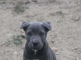 CHAMPION BLUE CANE CORSO Female pup CROP+DOCK