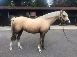 4year old mare welsh B