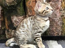 Bengal Kittens TICA