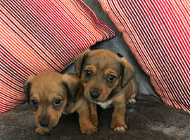Miniature daxi jack puppies for sale