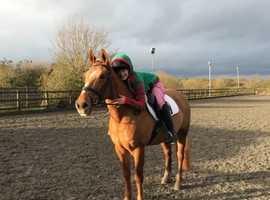cracking 14.2 13year old Chestnut Mare- PRICE REDUCED