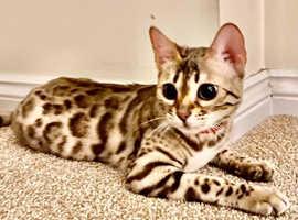Adorable Tica Registered Bengal Kittens