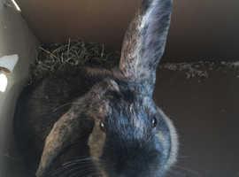 5 month old Rabbit **URGENT FREE*